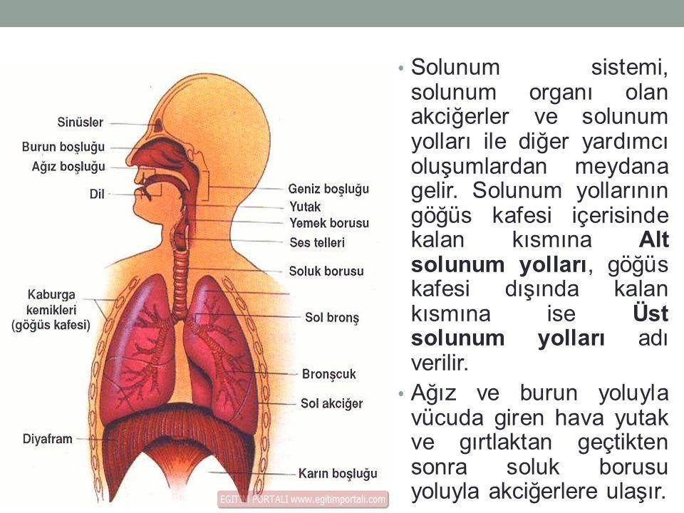 Solunum sistemi, solunum organı olan akciğerler ve solunum yolları ile diğer yardımcı oluşumlardan meydana gelir.