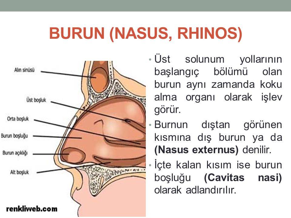 Nasus externus, yüzün orta kısmına yerleşmiş olan üç yüzlü piramit şeklinde bir çıkıntıdır.