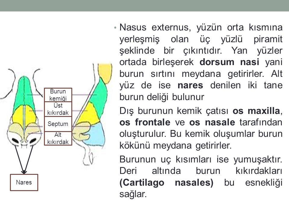 PLEURA (GÖĞÜS KAFESİ ZARI) Göğüs kafesinin iç yüzeyleri ve diaphragma'nın üst yüzeyini saran Lamina parietalis (duvar yaprağı) ile Akciğerlerin dış yüzeyini saran Lamina visceralis (organ yaprağı) olmak üzere iki yapraktan oluşmuş bir zar yapısıdır.