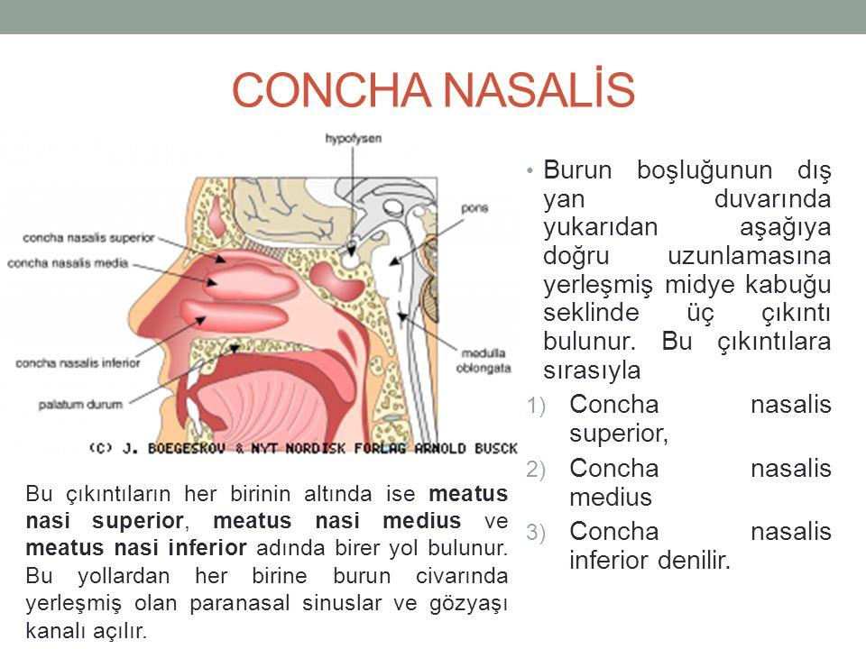 SİNUS PARANASALES Burun boşluğunu çevreleyen kemiklerin bazılarının içlerinde ''Sinus'' adı verilen boşluklar bulunur.