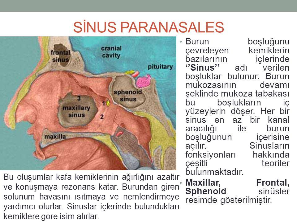 LARYNX (GIRTLAK) Ses organı olan gırtlak, boyun bölgesinde yutak ile nefes borusu arasında yerleşmiştir.