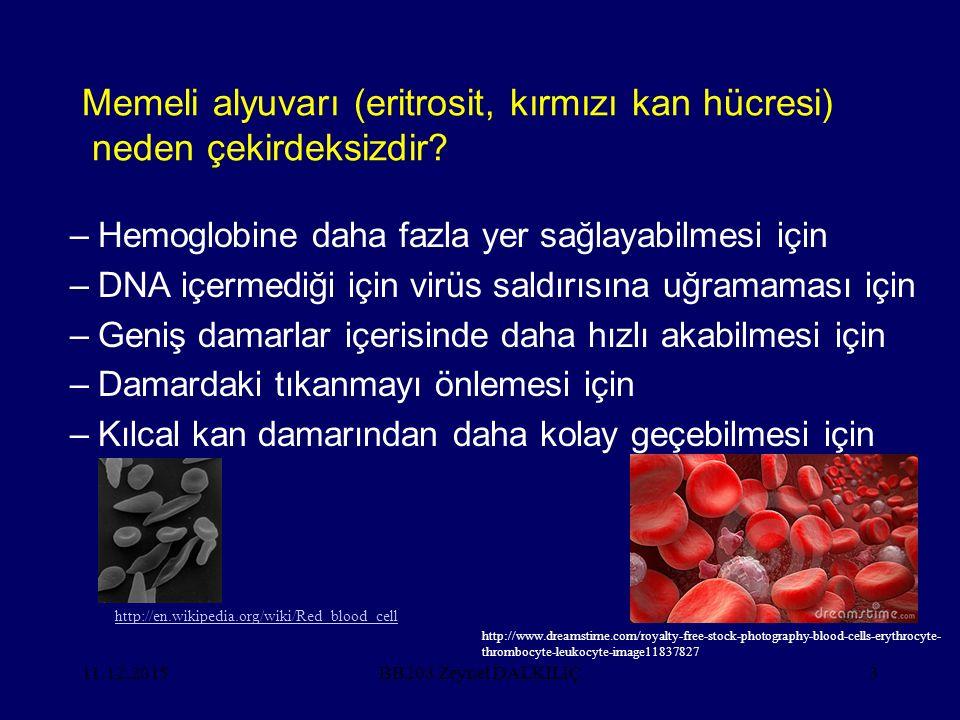 Memeli alyuvarı (eritrosit, kırmızı kan hücresi) neden çekirdeksizdir? –Hemoglobine daha fazla yer sağlayabilmesi için –DNA içermediği için virüs sald