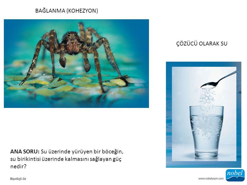 ÇÖZÜCÜ OLARAK SU BAĞLANMA (KOHEZYON) ANA SORU: Su üzerinde yürüyen bir böceğin, su birikintisi üzerinde kalmasını sağlayan güç nedir?