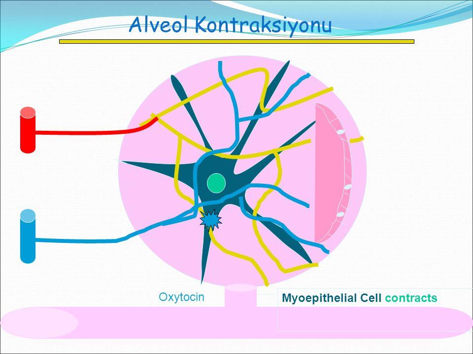 Alveol Kontraksiyonu Oxytocin Myoepithelial Cell contracts