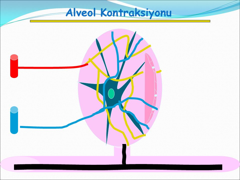 Alveol Kontraksiyonu