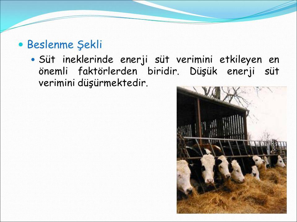 Beslenme Şekli Süt ineklerinde enerji süt verimini etkileyen en önemli faktörlerden biridir. Düşük enerji süt verimini düşürmektedir.