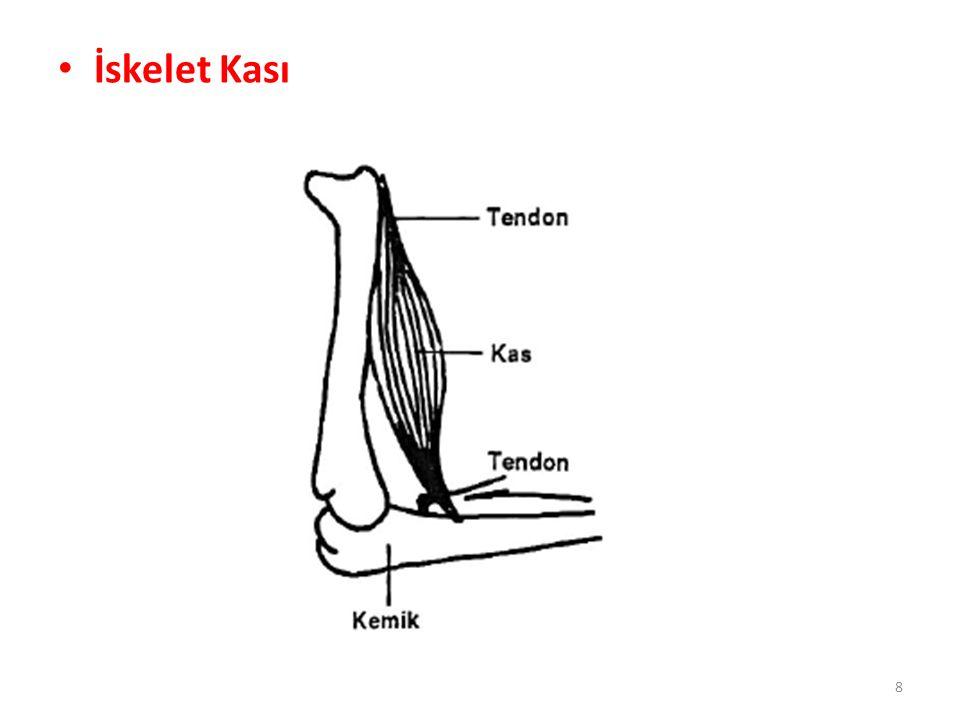Düz Kaslar Aktin ve miyozin flamentlerinin belli bir düzen dahilinde değil de rastgele bir dağılım göstermesi nedeni ile mikroskop altında çizgili görünüm vermeyen düz kaslar, genel olarak iki grup altında toplanırlar.