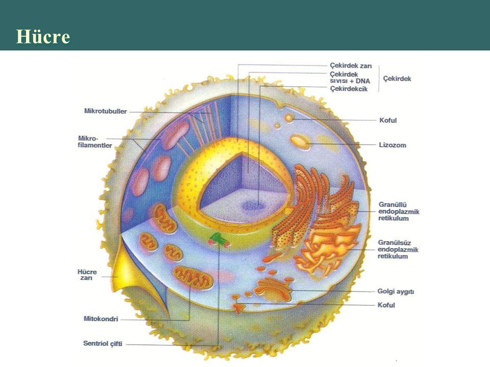 Copyright © 2004 Pearson Education, Inc., publishing as Benjamin Cummings Hücre