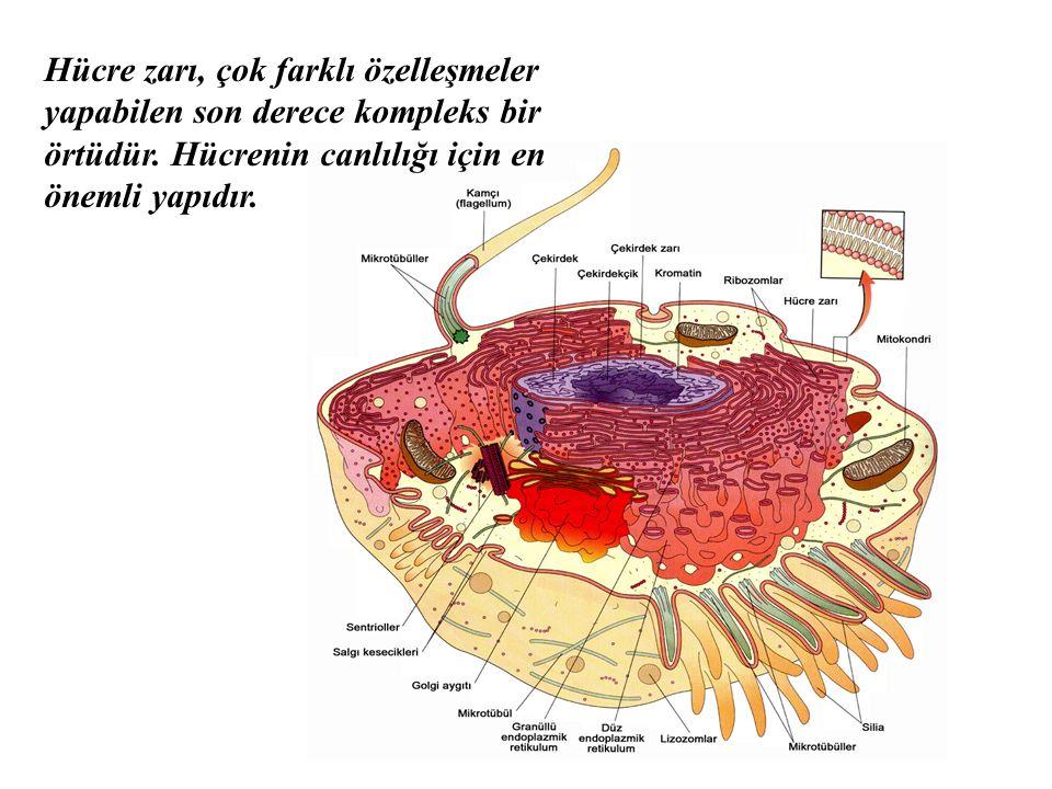 Hücre zarı, çok farklı özelleşmeler yapabilen son derece kompleks bir örtüdür.