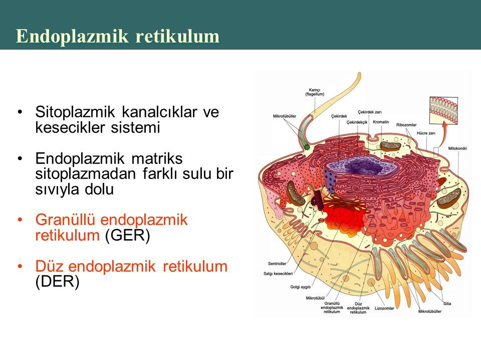 Copyright © 2004 Pearson Education, Inc., publishing as Benjamin Cummings Endoplazmik retikulum Sitoplazmik kanalcıklar ve kesecikler sistemi Endoplazmik matriks sitoplazmadan farklı sulu bir sıvıyla dolu Granüllü endoplazmik retikulum (GER) Düz endoplazmik retikulum (DER)