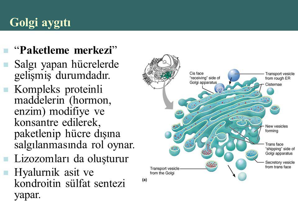 Copyright © 2004 Pearson Education, Inc., publishing as Benjamin Cummings Golgi aygıtı Paketleme merkezi Salgı yapan hücrelerde gelişmiş durumdadır.