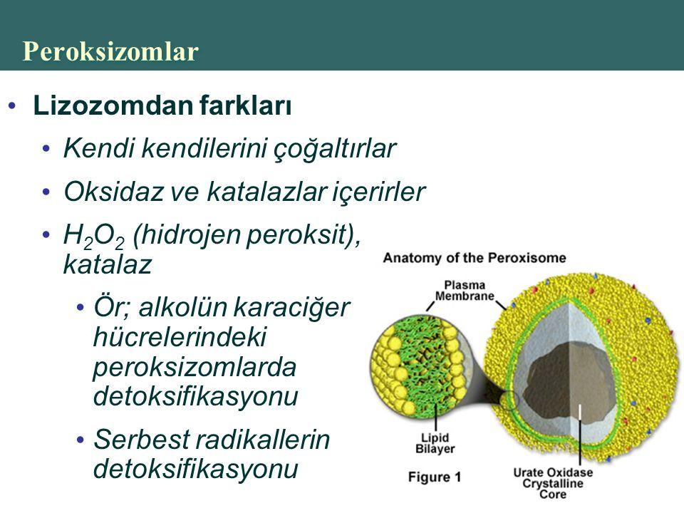 Copyright © 2004 Pearson Education, Inc., publishing as Benjamin Cummings Peroksizomlar Lizozomdan farkları Kendi kendilerini çoğaltırlar Oksidaz ve katalazlar içerirler H 2 O 2 (hidrojen peroksit), katalaz Ör; alkolün karaciğer hücrelerindeki peroksizomlarda detoksifikasyonu Serbest radikallerin detoksifikasyonu