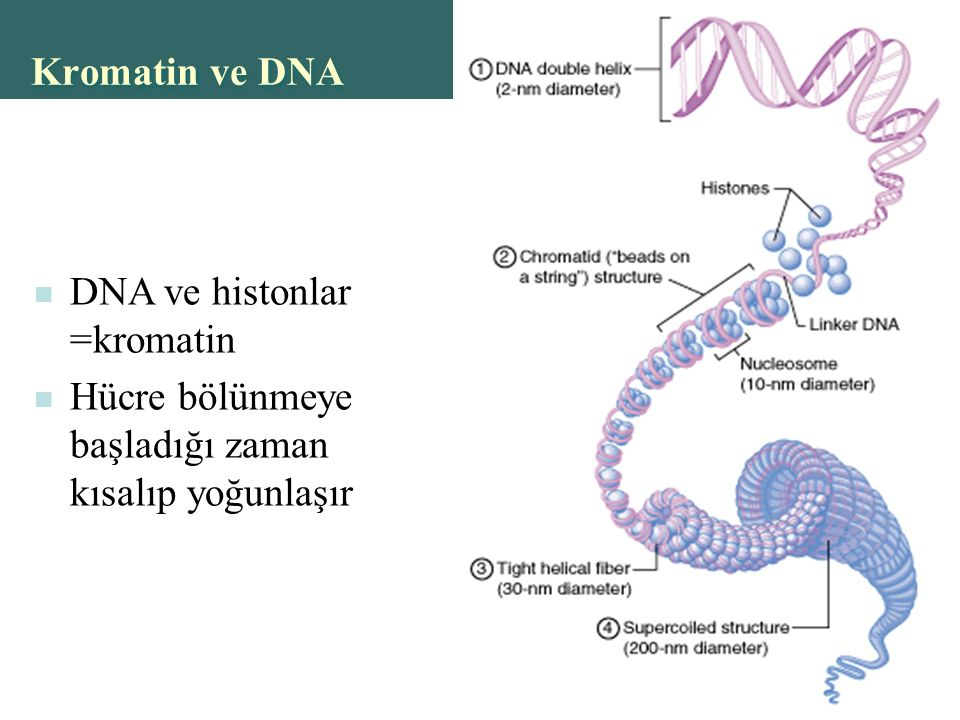 Copyright © 2004 Pearson Education, Inc., publishing as Benjamin Cummings Kromatin ve DNA DNA ve histonlar =kromatin Hücre bölünmeye başladığı zaman kısalıp yoğunlaşır