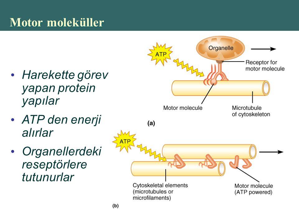 Copyright © 2004 Pearson Education, Inc., publishing as Benjamin Cummings Motor moleküller Harekette görev yapan protein yapılar ATP den enerji alırlar Organellerdeki reseptörlere tutunurlar