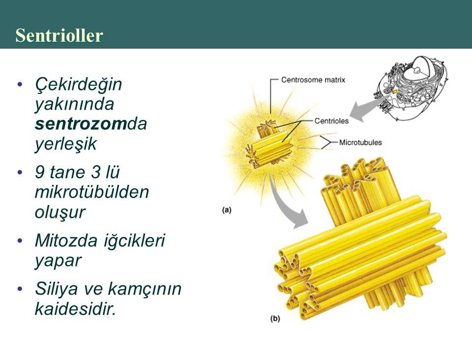 Copyright © 2004 Pearson Education, Inc., publishing as Benjamin Cummings Sentrioller Çekirdeğin yakınında sentrozomda yerleşik 9 tane 3 lü mikrotübülden oluşur Mitozda iğcikleri yapar Siliya ve kamçının kaidesidir.