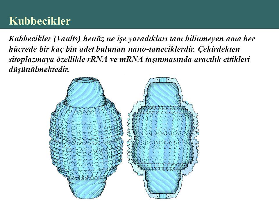 Copyright © 2004 Pearson Education, Inc., publishing as Benjamin Cummings Kubbecikler Kubbecikler (Vaults) henüz ne işe yaradıkları tam bilinmeyen ama her hücrede bir kaç bin adet bulunan nano-taneciklerdir.