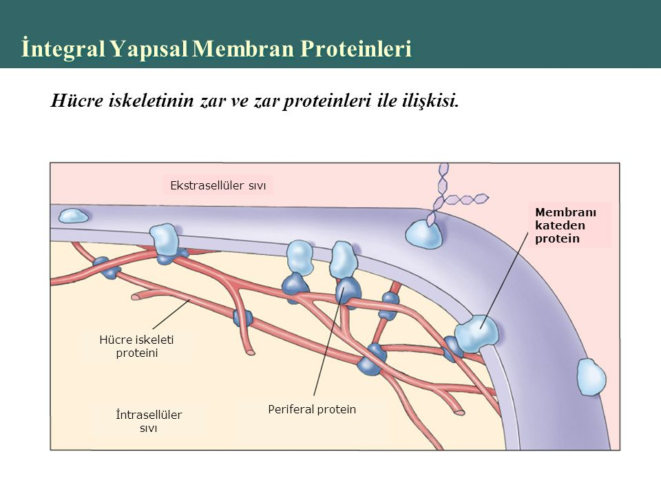 İntegral Yapısal Membran Proteinleri Ekstrasellüler sıvı Membranı kateden protein Hücre iskeleti proteini İntrasellüler sıvı Periferal protein Hücre iskeletinin zar ve zar proteinleri ile ilişkisi.