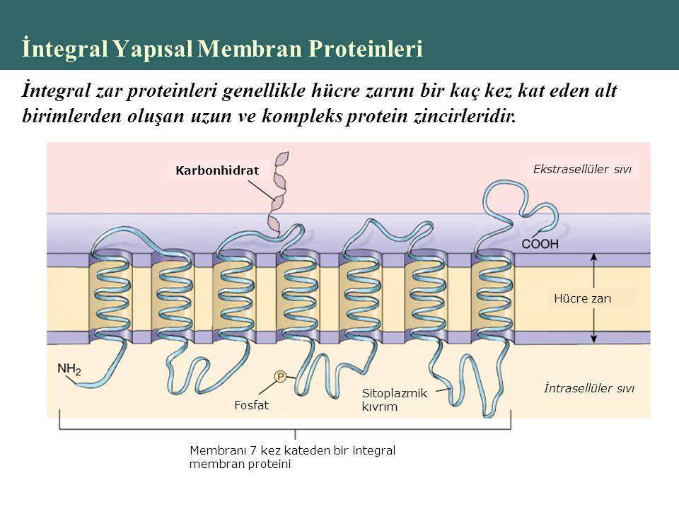 Copyright © 2004 Pearson Education, Inc., publishing as Benjamin Cummings İntegral Yapısal Membran Proteinleri Karbonhidrat Ekstrasellüler sıvı Fosfat Sitoplazmik kıvrım İntrasellüler sıvı Hücre zarı Membranı 7 kez kateden bir integral membran proteini İntegral zar proteinleri genellikle hücre zarını bir kaç kez kat eden alt birimlerden oluşan uzun ve kompleks protein zincirleridir.
