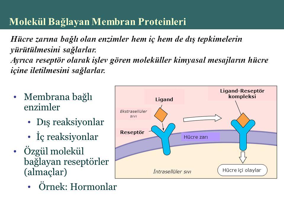 Copyright © 2004 Pearson Education, Inc., publishing as Benjamin Cummings Membrana bağlı enzimler Dış reaksiyonlar İç reaksiyonlar Özgül molekül bağlayan reseptörler (almaçlar) Örnek: Hormonlar Molekül Bağlayan Membran Proteinleri İntrasellüler sıvı Ekstrasellüler sıvı Reseptör Ligand Ligand-Reseptör kompleksi Hücre içi olaylar Hücre zarı Hücre zarına bağlı olan enzimler hem iç hem de dış tepkimelerin yürütülmesini sağlarlar.