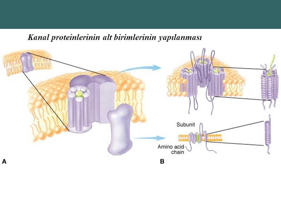 Copyright © 2004 Pearson Education, Inc., publishing as Benjamin Cummings Kanal proteinlerinin alt birimlerinin yapılanması