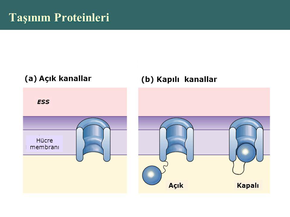Copyright © 2004 Pearson Education, Inc., publishing as Benjamin Cummings Taşınım Proteinleri (a)Açık kanallar (b) Kapılı kanallar ESS Hücre membranı AçıkKapalı