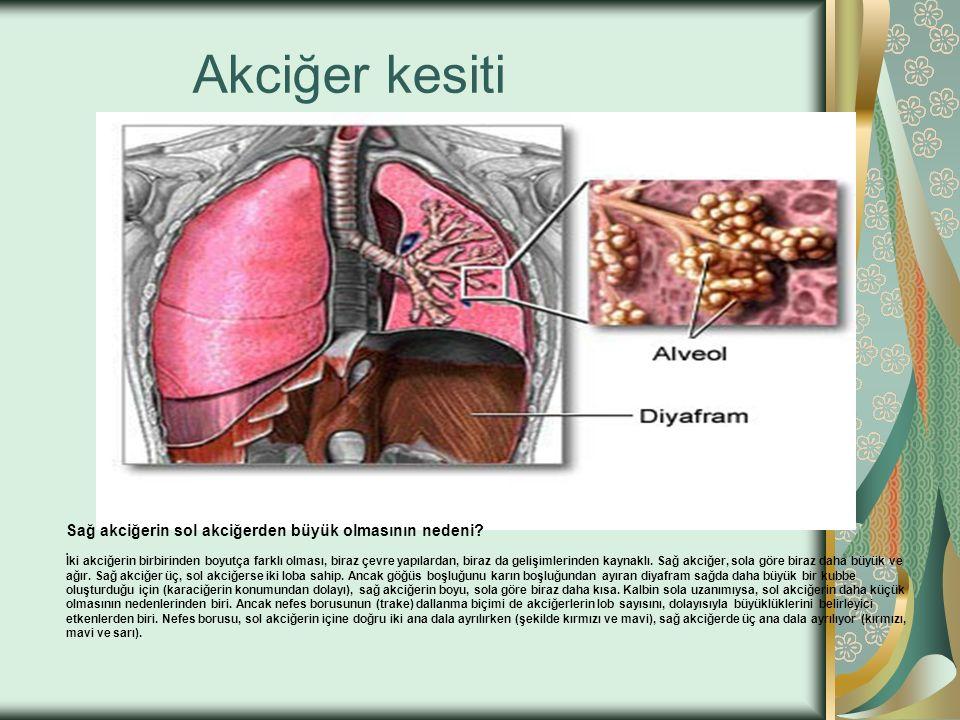 Sağ akciğerin sol akciğerden büyük olmasının nedeni? İki akciğerin birbirinden boyutça farklı olması, biraz çevre yapılardan, biraz da gelişimlerinden