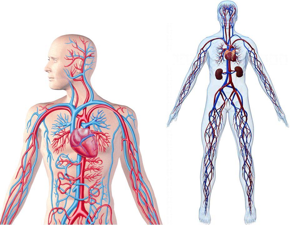 William Harvey 1628 yılında De Motu Cordis isimli çalışmasında, insan organizmasının kan dolaşımını kalpten başlatarak tanımlamış ve ayrıca kan dolaşımının fizyolojik çalışma prensiplerinden de bahsetmiştir.