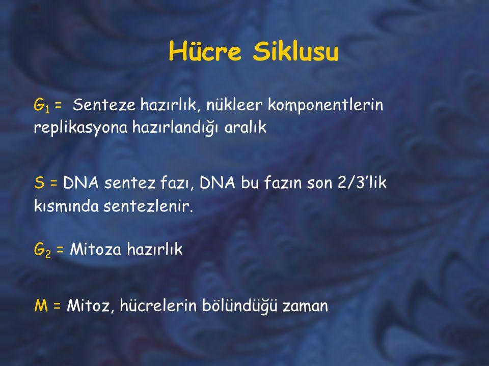 Hücre Siklusu G 1 = Senteze hazırlık, nükleer komponentlerin replikasyona hazırlandığı aralık S = DNA sentez fazı, DNA bu fazın son 2/3'lik kısmında s