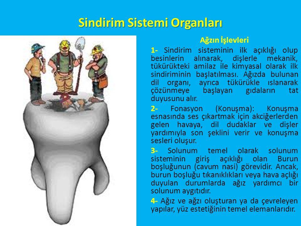 Sindirim Sistemi Organları Ağzın İşlevleri 1- Sindirim sisteminin ilk açıklığı olup besinlerin alınarak, dişlerle mekanik, tükürükteki amilaz ile kimyasal olarak ilk sindiriminin başlatılması.