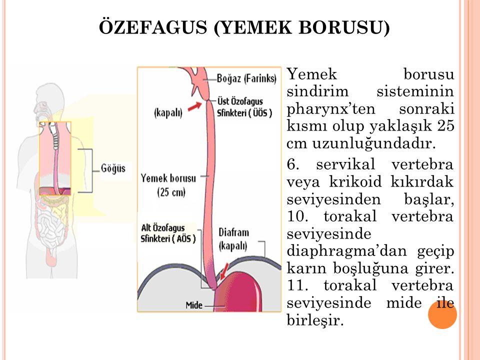 ÖZEFAGUS (YEMEK BORUSU) Yemek borusu sindirim sisteminin pharynx'ten sonraki kısmı olup yaklaşık 25 cm uzunluğundadır. 6. servikal vertebra veya kriko