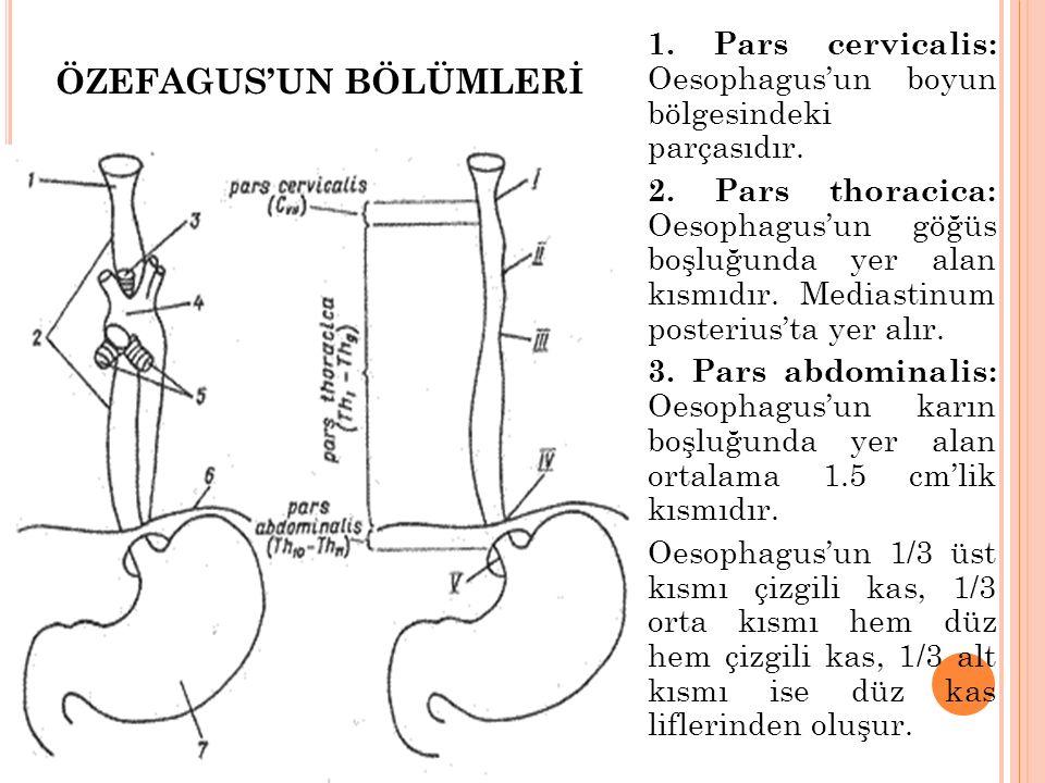 1. Pars cervicalis: Oesophagus'un boyun bölgesindeki parçasıdır. 2. Pars thoracica: Oesophagus'un göğüs boşluğunda yer alan kısmıdır. Mediastinum post