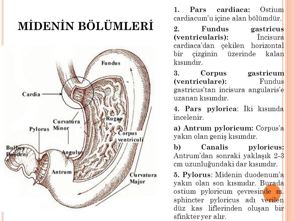 MİDENİN BÖLÜMLERİ 1. Pars cardiaca: Ostium cardiacum'u içine alan bölümdür. 2. Fundus gastricus (ventricularis): İncisura cardiaca'dan çekilen horizon
