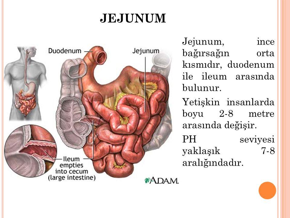 JEJUNUM Jejunum, ince bağırsağın orta kısmıdır, duodenum ile ileum arasında bulunur. Yetişkin insanlarda boyu 2-8 metre arasında değişir. PH seviyesi