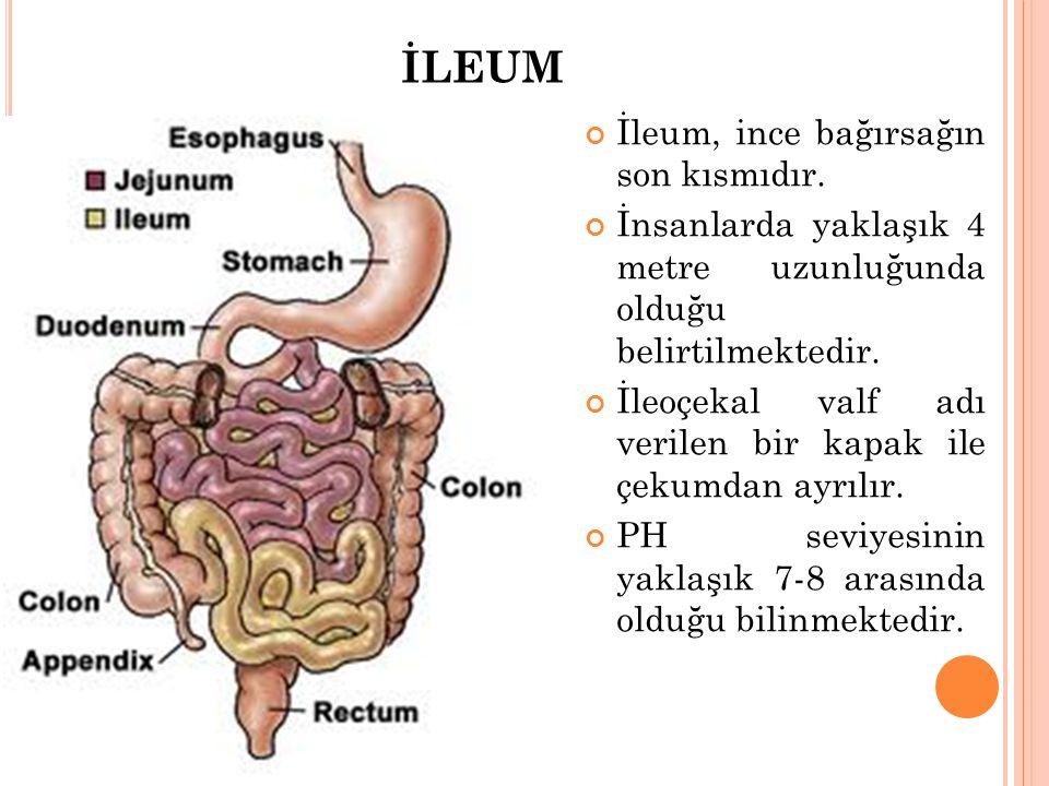 İLEUM İleum, ince bağırsağın son kısmıdır. İnsanlarda yaklaşık 4 metre uzunluğunda olduğu belirtilmektedir. İleoçekal valf adı verilen bir kapak ile ç