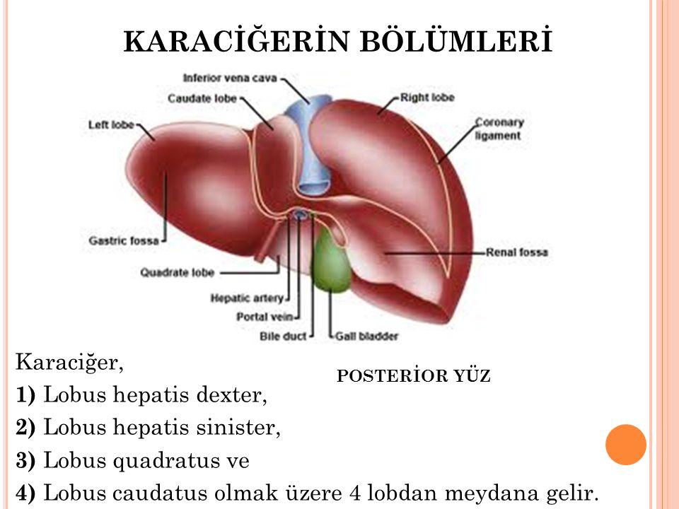 KARACİĞERİN BÖLÜMLERİ Karaciğer, 1) Lobus hepatis dexter, 2) Lobus hepatis sinister, 3) Lobus quadratus ve 4) Lobus caudatus olmak üzere 4 lobdan meyd