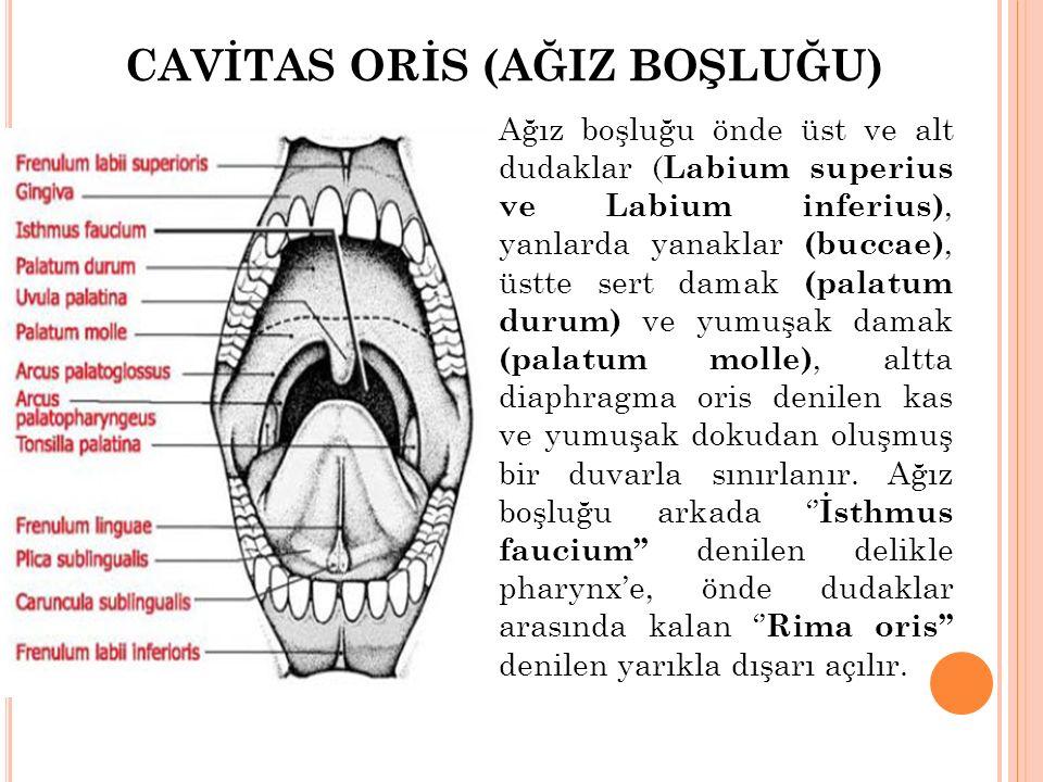 CAVİTAS ORİS (AĞIZ BOŞLUĞU) Ağız boşluğu önde üst ve alt dudaklar ( Labium superius ve Labium inferius), yanlarda yanaklar (buccae), üstte sert damak