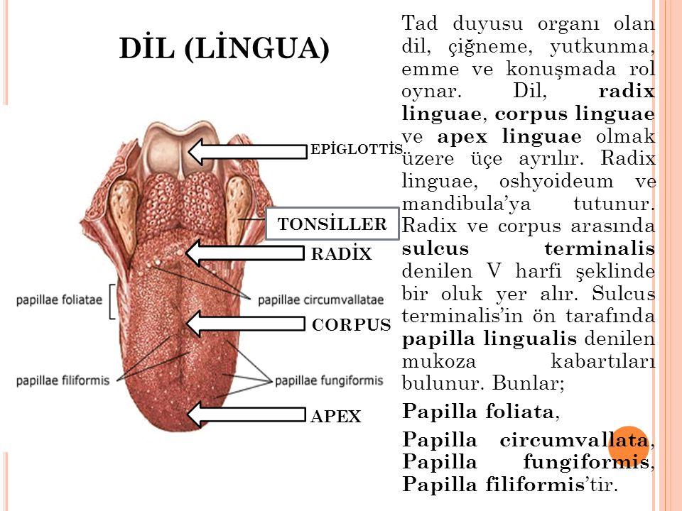 DİL (LİNGUA) Tad duyusu organı olan dil, çiğneme, yutkunma, emme ve konuşmada rol oynar. Dil, radix linguae, corpus linguae ve apex linguae olmak üzer