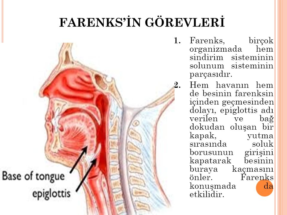 FARENKS'İN GÖREVLERİ 1. Farenks, birçok organizmada hem sindirim sisteminin solunum sisteminin parçasıdır. 2. Hem havanın hem de besinin farenksin içi