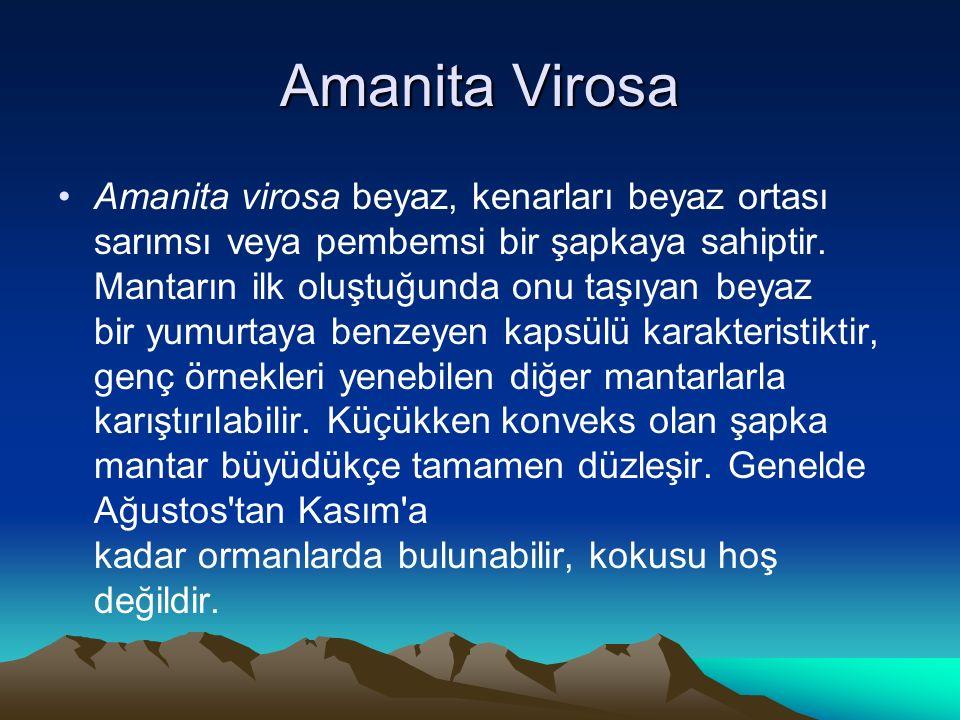 Amanita virosa beyaz, kenarları beyaz ortası sarımsı veya pembemsi bir şapkaya sahiptir.