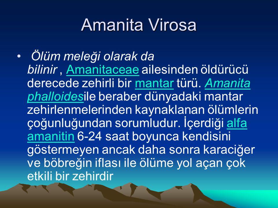 Amanita Virosa Ölüm meleği olarak da bilinir, Amanitaceae ailesinden öldürücü derecede zehirli bir mantar türü.