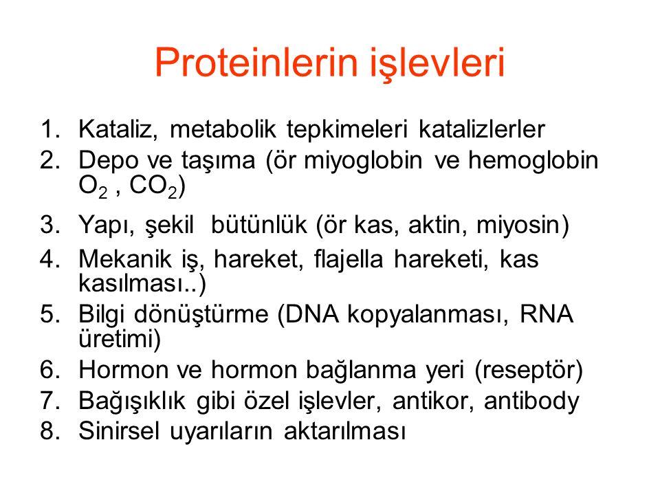 Proteinlerin işlevleri 1.Kataliz, metabolik tepkimeleri katalizlerler 2.Depo ve taşıma (ör miyoglobin ve hemoglobin O 2, CO 2 ) 3.Yapı, şekil bütünlük (ör kas, aktin, miyosin) 4.Mekanik iş, hareket, flajella hareketi, kas kasılması..) 5.Bilgi dönüştürme (DNA kopyalanması, RNA üretimi) 6.Hormon ve hormon bağlanma yeri (reseptör) 7.Bağışıklık gibi özel işlevler, antikor, antibody 8.Sinirsel uyarıların aktarılması