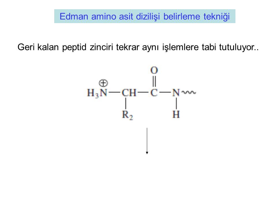 Edman amino asit dizilişi belirleme tekniği Geri kalan peptid zinciri tekrar aynı işlemlere tabi tutuluyor..