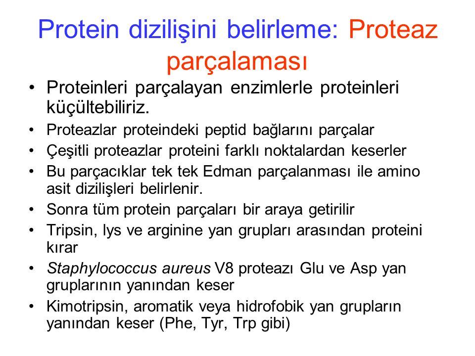 Protein dizilişini belirleme: Proteaz parçalaması Proteinleri parçalayan enzimlerle proteinleri küçültebiliriz.