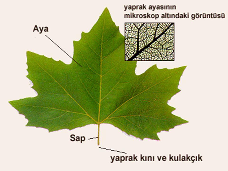 a) Algler a) Algler Bitki dünyasının en ilkel gruplarından biri olan algler, tohumsuz bitkilerin çok geniş ve önemli bir kategorisini meydana getirirler.