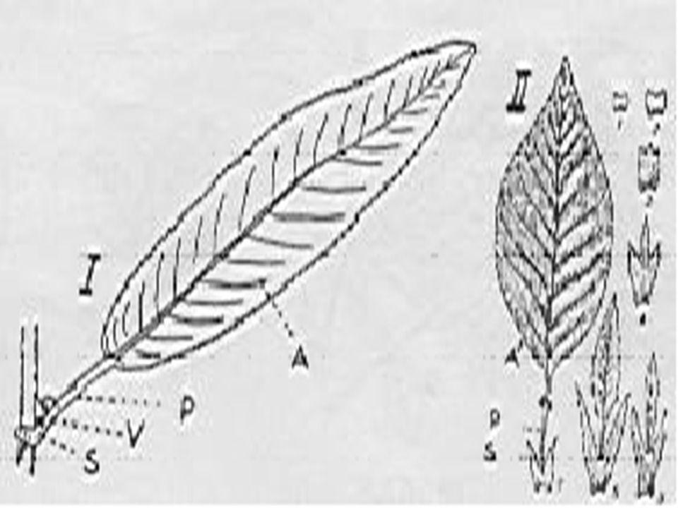 2-GÖVDE: 2-GÖVDE: Bitkinin toprak üstünde gelişen,dik durmasını sağlayan,üzerinde dal,yaprak ve çiçekleri taşıyan kısmıdır.