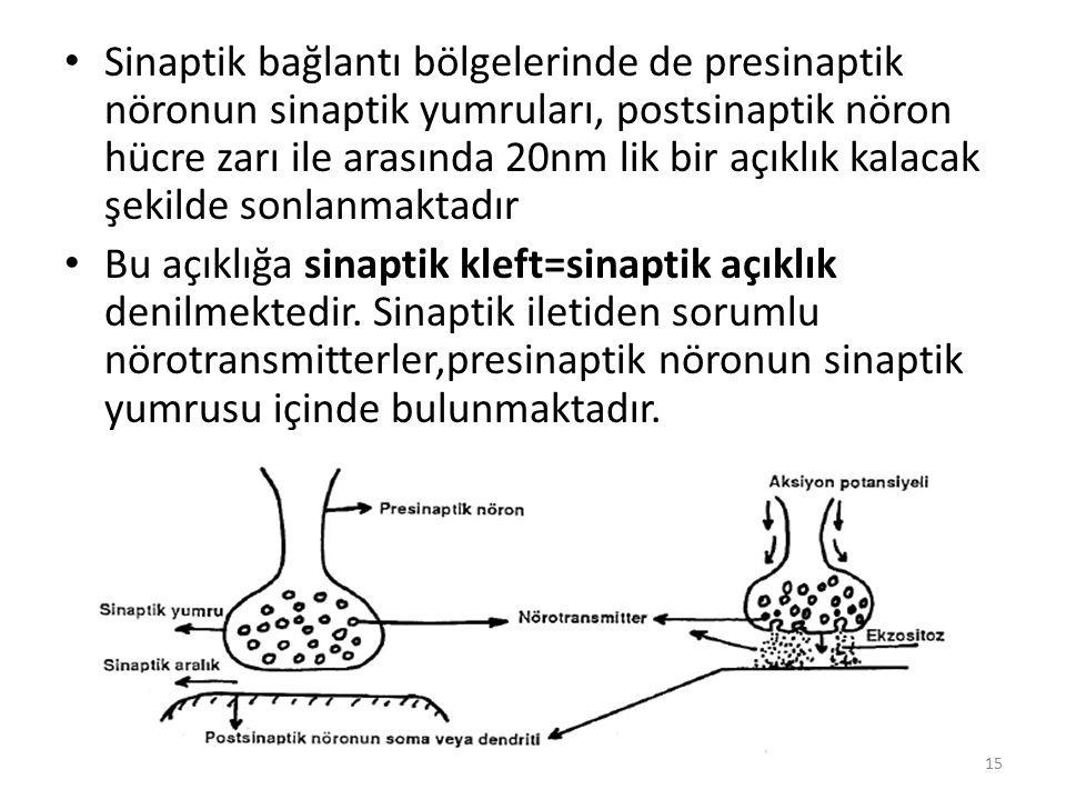 Sinaptik bağlantı bölgelerinde de presinaptik nöronun sinaptik yumruları, postsinaptik nöron hücre zarı ile arasında 20nm lik bir açıklık kalacak şeki