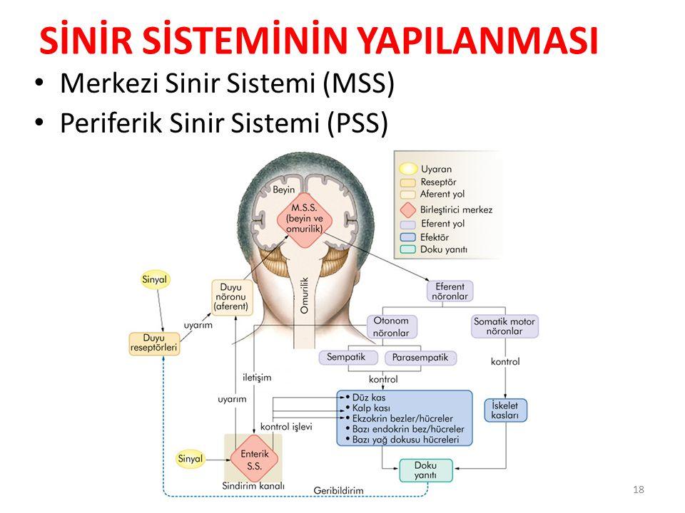 Merkezi Sinir Sistemi (MSS) Periferik Sinir Sistemi (PSS) 18 SİNİR SİSTEMİNİN YAPILANMASI