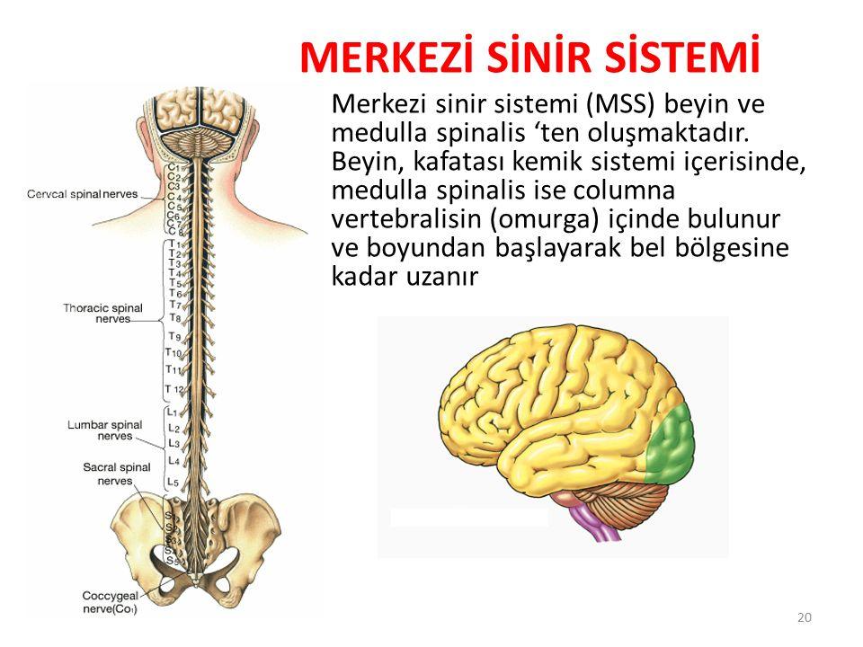 MERKEZİ SİNİR SİSTEMİ Merkezi sinir sistemi (MSS) beyin ve medulla spinalis 'ten oluşmaktadır. Beyin, kafatası kemik sistemi içerisinde, medulla spina