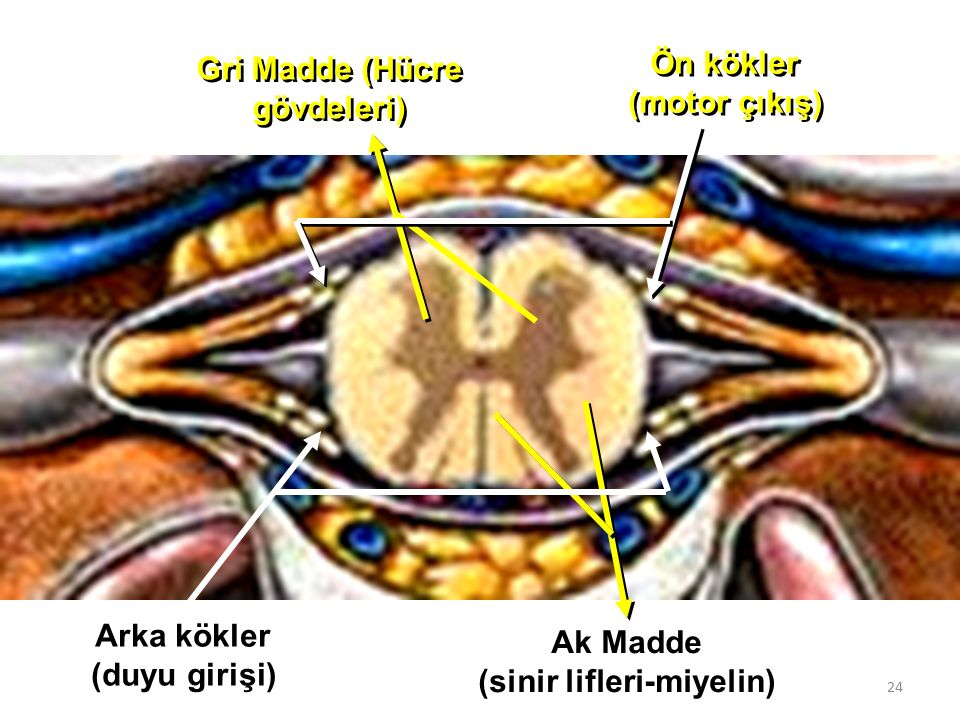24 Gri Madde (Hücre gövdeleri) Ak Madde (sinir lifleri-miyelin) Arka kökler (duyu girişi) Ön kökler (motor çıkış)