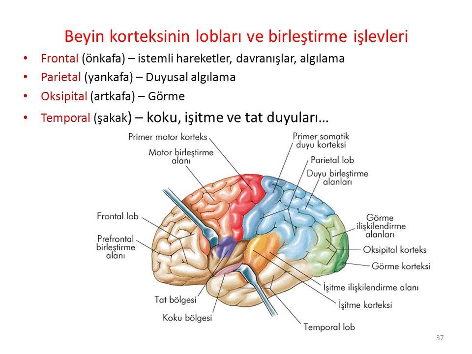 37 Frontal (önkafa) – istemli hareketler, davranışlar, algılama Parietal (yankafa) – Duyusal algılama Oksipital (artkafa) – Görme Temporal (şakak ) –